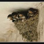 梦见燕子飞来筑巢是什么意思