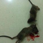 孕妇梦见很多死老鼠是什么意思