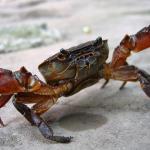 孕妇梦见抓螃蟹吃是什么意思