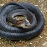 孕妇梦见一条小黑蛇是什么意思